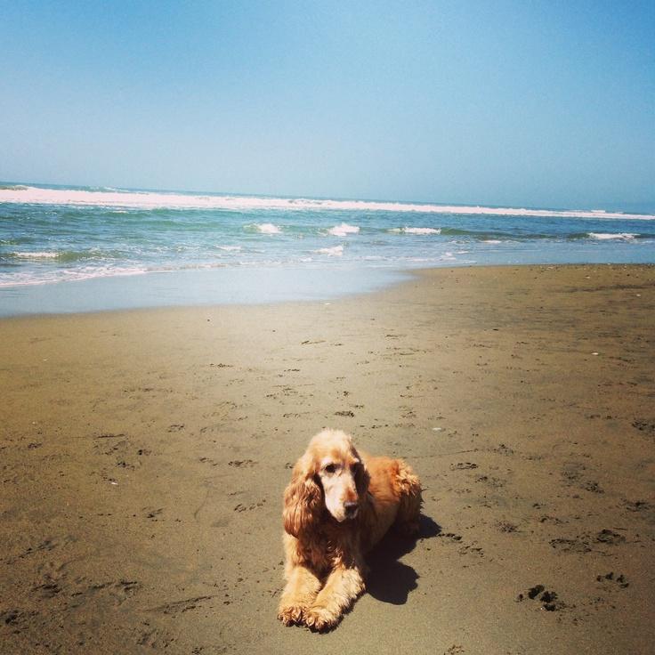 Cocker spaniel enjoying the beach :)