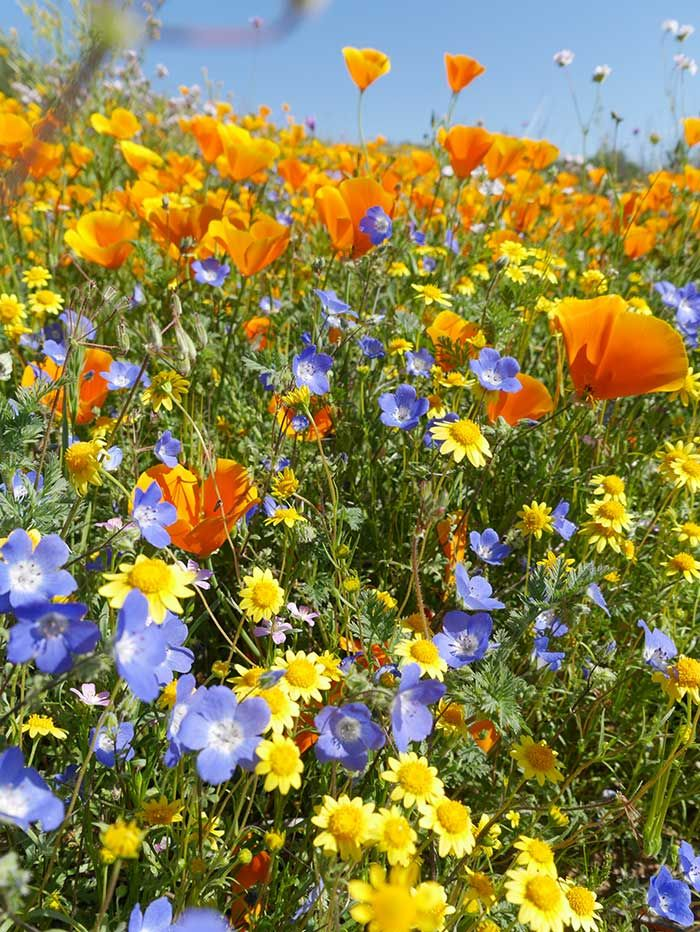 Super Bloom - Desert Wildflower Reports for Southern California by DesertUSA
