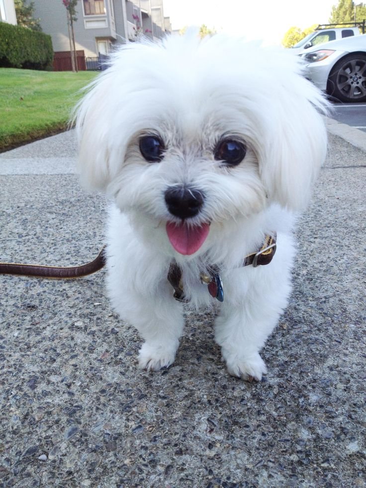 This boy loves taking afternoon walks :) #cutest #maltese #dog