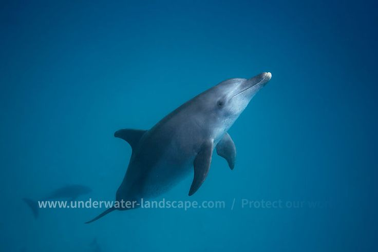 Dauphin - Photo sous-marine Bottlenose dolphin - Underwater photography #underwater #dolphin #dauphin #cetacea #wildlife #sea #ocean #lagoon #tursiops #aduncus