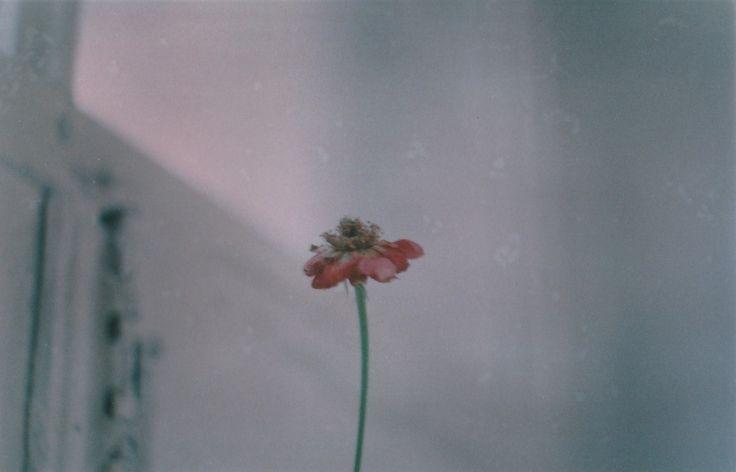 Роза на окне