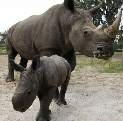 rinoceronte negro de África, extinto! que dolor ;(