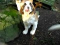 Lasquite's Saint Bernards puppies 201...I would be in heaven playing with these puppies!