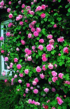R. 'Constance Spry' (Kw) Een van de mooiste klimrozen; de enorme roze bloemen geven een prachtig massief effect. Helaas bloeit deze roos slechts eenmaal per seizoen. Zeer geurig.