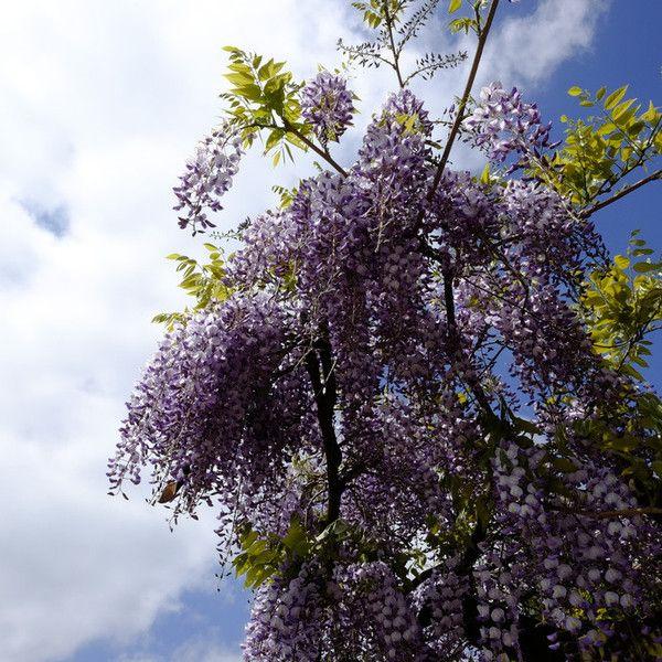 Les 70 meilleures images du tableau mon beau jardin sur pinterest beaux jardins graines et - Graine de glycine ...