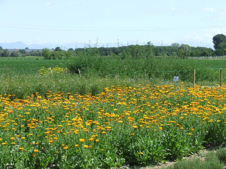 Campo di #Calendula - Field of #marigold https://sites.google.com/site/lizfattoriadelleerbe/coltivazione-erbe-fiori-eduli