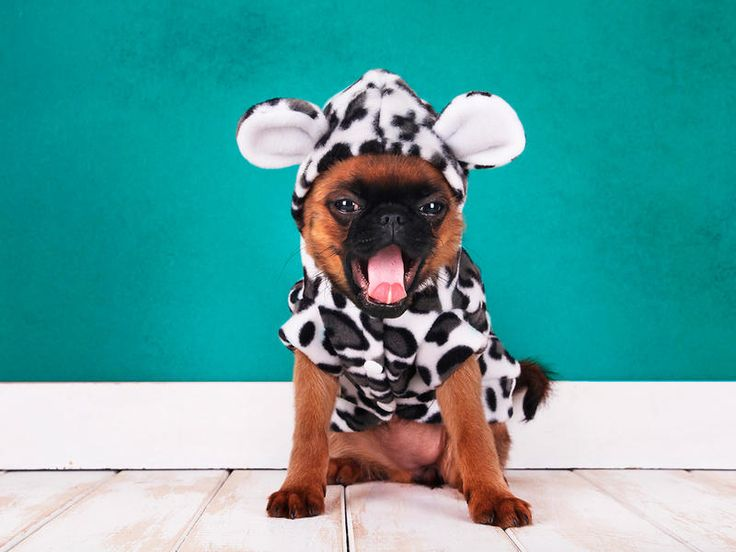 ¿De lunes?  Nuestras mejores mascotas: perrito bostezando