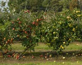 Cordon Fruit Trees: How to Get the Best Harvest From a Small Garden, new article today from growveg.com