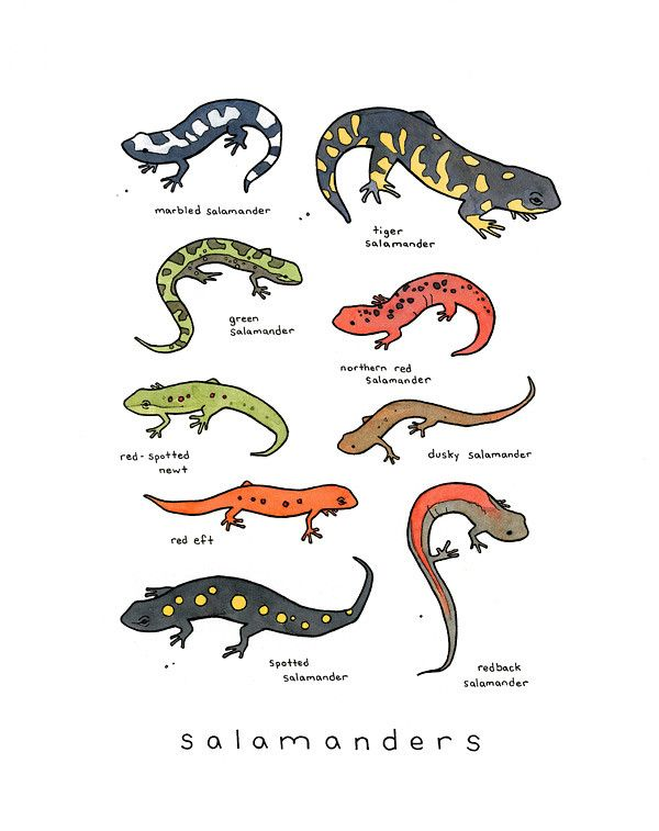 A fun, colorful art print of nine salamanders. Spotted, speckled, and striped. Originally illustrated in ink and watercolor and labeled in handwritten text. For the little adventurer who enjoys poking
