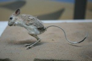 Canguro enano mascota, un curioso roedor, con extremidades adaptadas para el salto, no es un marsupial pese a su nombre común.