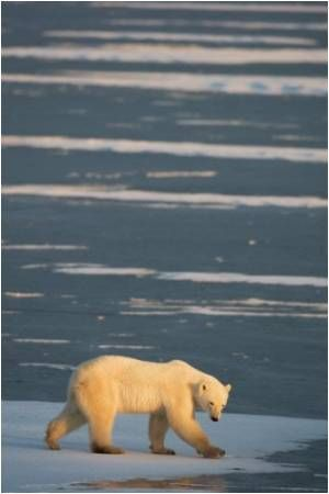 Reduction in Arctic Sea Ice may Have a Bearing on Atmospheric Circulation