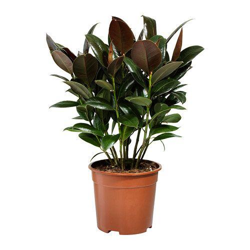 Les 25 meilleures id es concernant ficus elastica sur for Ficus plante interieur