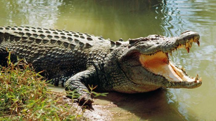 Seorang Perempuan Usir Buaya dengan Sendal Jepit : Seorang perempuan di Teritori Utara Australia mengusir buaya air asin yang sedang melata mencari mangsa hanya dengan menepuk-nepukkan sandal jepit dan meneriaki hewan i
