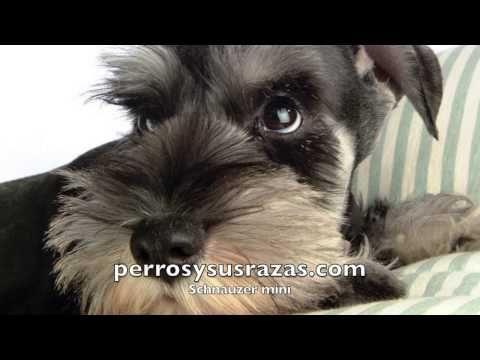 Schnauzer miniatura, caracteristicas | Razas de perros