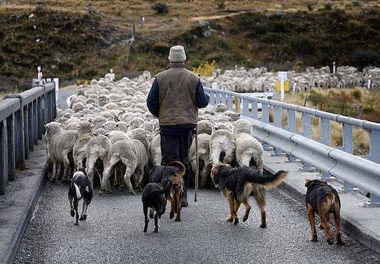 Moutons Nouvelle Zelande (c) New Zealand