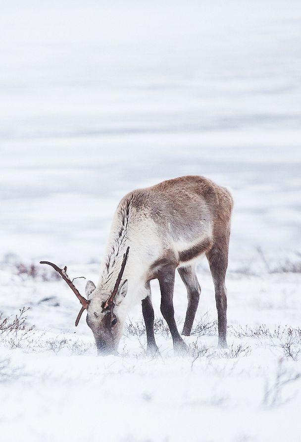 Cerf dans la nature d'hivers