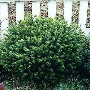 Veronica (Hebe buxifolia)- wintergroen - border