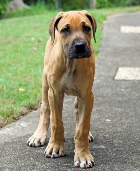Great Dane Fawnequin 1000+ images about Gre...