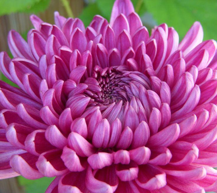 Dendranthema grandiflora. Crisantemo. Plantas Ornamentales, Jardinería, Flores y Horticultura. Ornamentalis