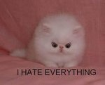 :PFunny Pics, Funny Cat, Funny Pictures, Funny Kittens, Crazy Cat, Grumpy Cat, I Hate Everything, Persian Cat, White Cat