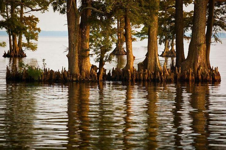 Edenton, North Carolina (Bay cypress, Photo by Kip Shaw)