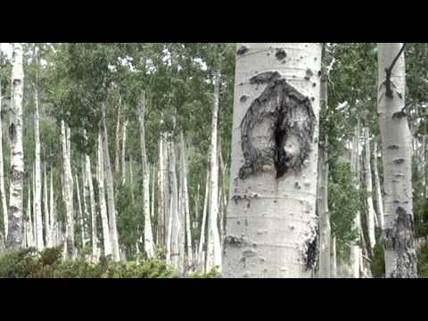 The Pando aspen grove in Utah is all one tree - Business Insider