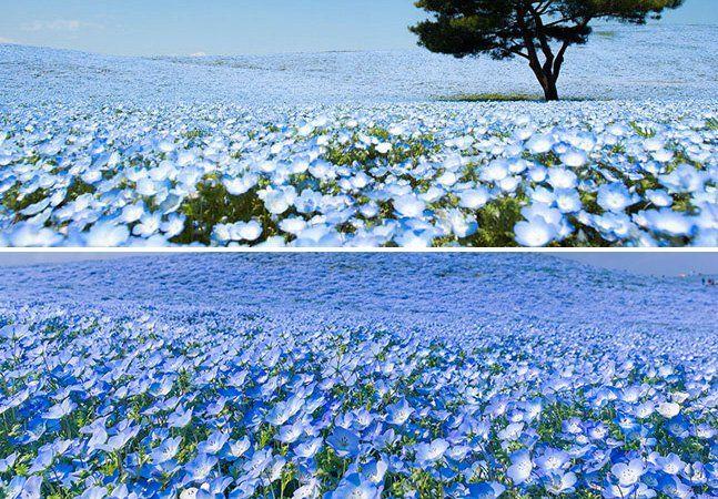 Se existem zoológicos, parques aquáticos e parques de diversão temáticos, nada mais justo do que haver parques voltados para a beleza das flores. No Hitachi Seaside Park, localizado em Hitachinaka, no Japão, centenas de diferentes tipos de flores (170 variedades só de tulipas!) são cultivados em um espaço de cerca de 470 acres. E quando elas brotam, a natureza dá um verdadeiro espetáculo. Durante todo o ano, há flores brotando, mas é em abril que o verdadeiro show pode ser visto. Nessa…