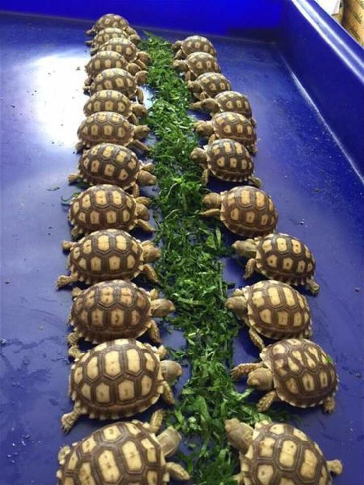 Meanwhile, down at the little baby tortoise buffet...