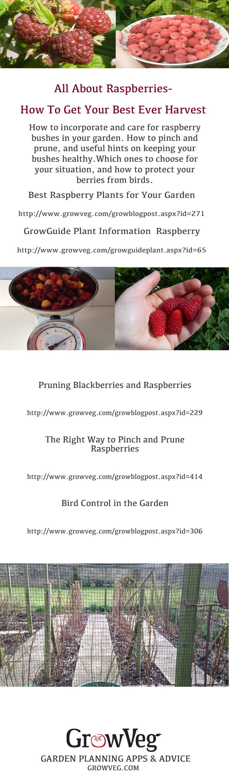 Which raspberry plants to choose for your garden, which varieties to try, how to pinch and prune your bushes and how to keep them healthy. How to deal with both summer and autumn fruiting canes and how to then protect your crop from birds. In short how to get your best harvest ever.