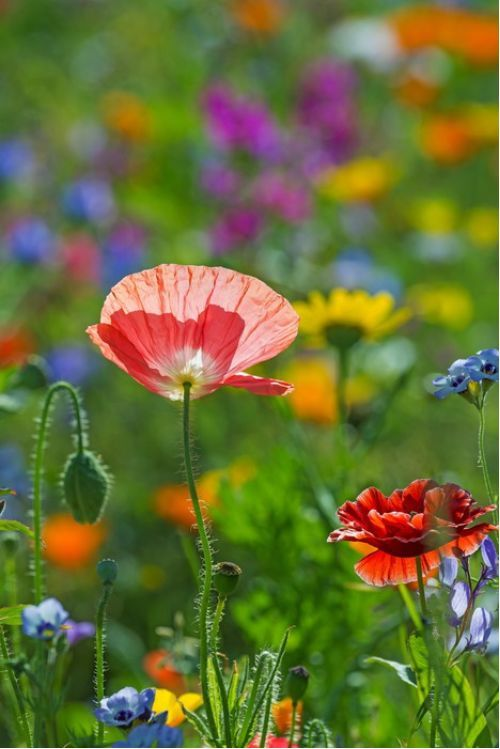 Poppies in the spring meadow  from $41.99 | www.wallartprints.com.au #MeadowPhotography #LandscapePhotography