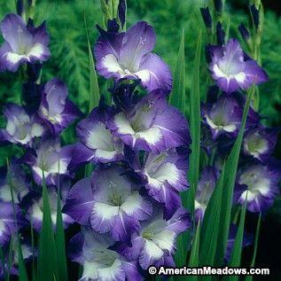 Gladiolus Bulbs Nori