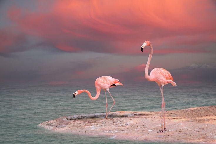 flamingo | morning, dawn, shore, sky, sea, animals, flamingo