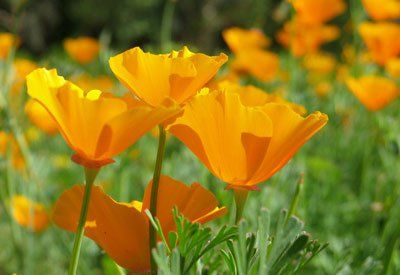Home flower gardeners growing California poppies are rewarded with a spectacular, long-lasting display of lively colors. Self-seeding annual.