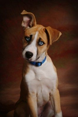 Husky-boxer mix! I want one :) Murphy could have a twin with blue eyes!