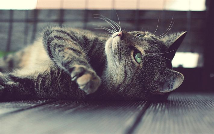 Download wallpapers gray domestic cat, pets, cats, green eyes, cute cat