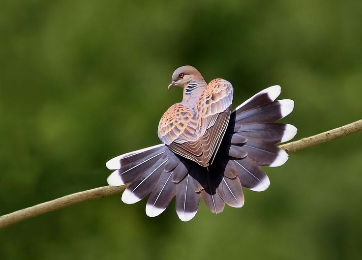 Oriental turtle dove Photo by Zahoor Salmi — National Geographic Your Shot