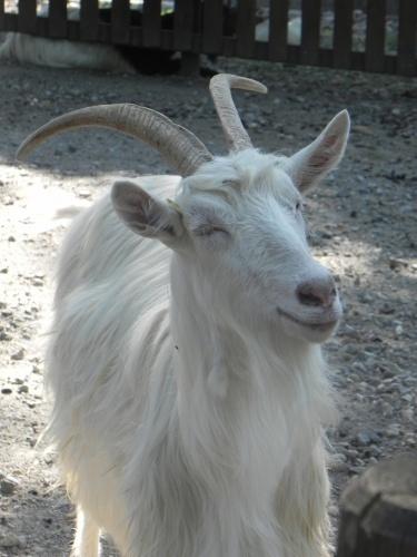 Il sorriso della capra Sempione :)
