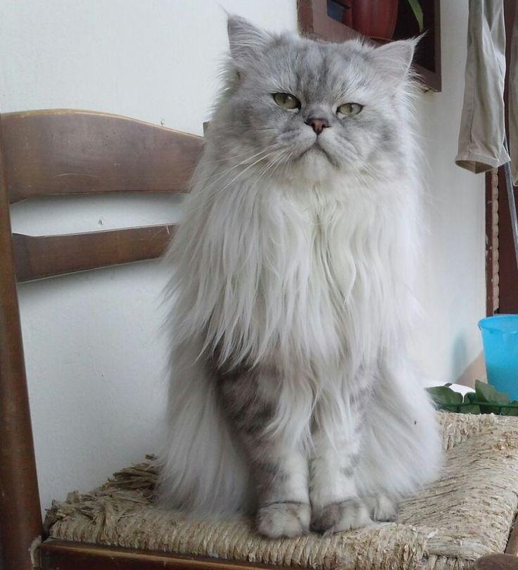 #Romeo #gatto #persiano #chinchilla #silver #shaded #persiancat #chinchillacat #cats #13monthsold