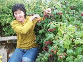 Как без ущерба для урожая омолодить свой малинник?