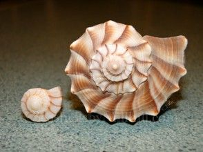 Adult and Juvenile Lightning Whelk Seashells by Millhillwizzley.com -
