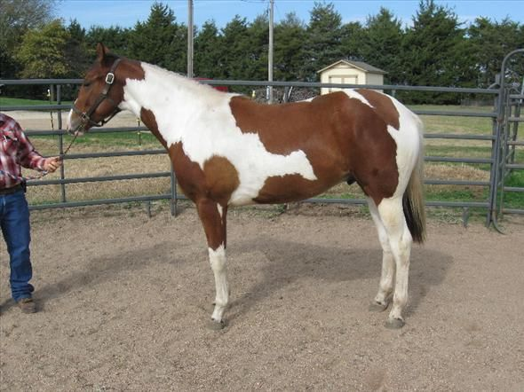 If you're in the market for a gorgeous future Western Pleasure horse!