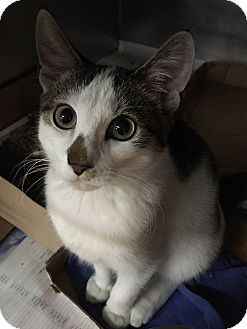 French Toast is a kitten up for adoption at the Humane Society of New York.