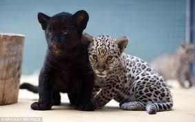 jaguar animal - Google Search