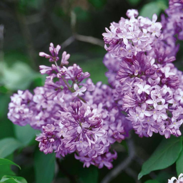 18 lilac varieties - Common Purple Garden Flowers