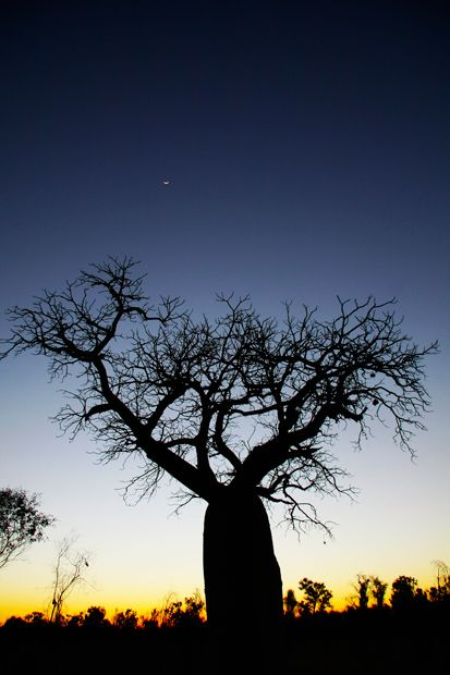 Baob tree in the Kimberley, in the north of W.A.