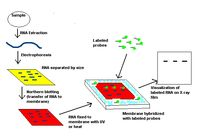 Northern blot - Wikipedia, the free encyclopedia
