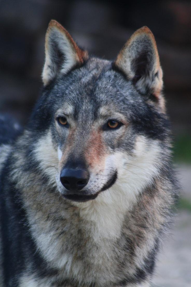Perro Lobo Checoslovaco . La hibridación entre dos especies ha sido una idea repetida hasta la saciedad en argumentos desarrollado por muchos escritores y cineastas de ciencia ficción.