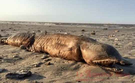Strana creatura lasciata sulla spiaggia del Texas dall'uragano Svelato, forse, il mistero della strana creatura ritrovata sulle spiagge del Texas dopo il passaggio dell'uragano. Il ritrovamento è stato fatto da Preeti Desai, una fotografa naturalista. La ragazza