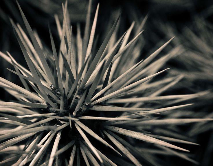 Pico que pica, picou Sobre plantas com espinhos, sobretudo cactos. Apontamentos em macrofotografia com câmara digital e lente adequada a captar pormenores e fotos close-up