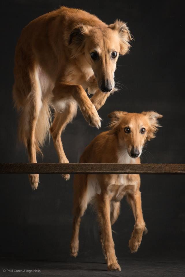 Silken Windhound Photographer: Paul Croes